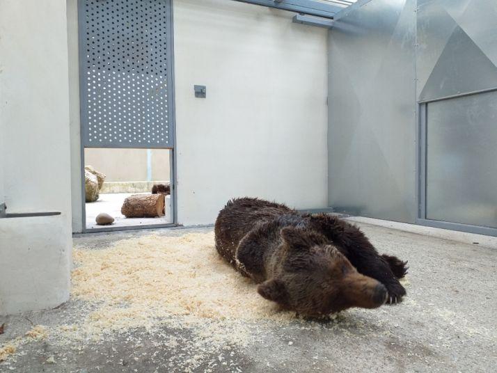 Foto 2 - La Junta rescata un oso herido en León que ya se recupera Cantabria