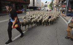 Foto 4 - Cencerros de la Trashumancia en la capital. Oveja que bala, bocado que pierde