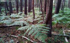 Helechos entre pinos en el término de Duruelo. / RV-SN