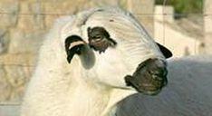 Un reproductor de ojalada soriana