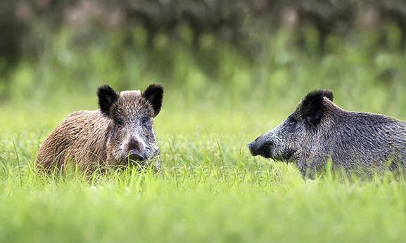 Dos jabalíes en estado salvaje.