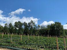 El presidente de la Diputación, Benito Serrano, ha visitado hoy las primeras cinco hectáreas de frambuesa que comienzan a dar sus frutos gracias al proyecto impulsado por ASFOSO. Diputación de Soria
