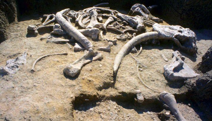 Defensa y cráneo de elefante en el yacimiento de Ambrona. /Jta.