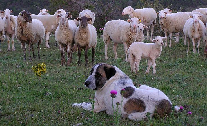 Un ejemplar de mastín cuidando ganado ovino. /WWF