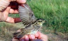 Un ejemplar de este ave antes de su anillamiento por SEO-Soria. /SEO-Soria
