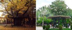 2010 Tras 400 años Soria `jubiló´ a su árbol de la música. 20 años después, la ciudad recuperó el templete respetando el aspecto original dek instalado antes de la Guerra Civil. fotos: sanz azcárate/sn