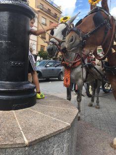 Trashumancia de vacas en Ágreda.