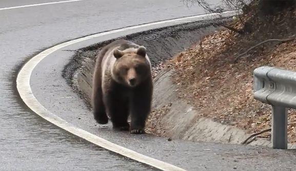 Un oso transitando por una carretera. /Silviu Chiriac