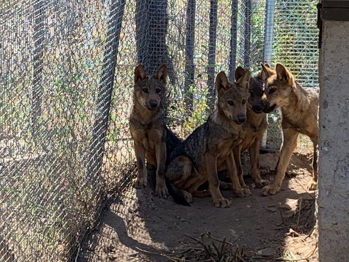 Foto 1 - Los lobeznos de Zamora cumplen 3 meses
