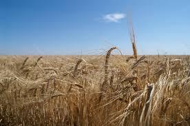 Foto 1 - Identifican un gen responsable de la resistencia a la sequía en la cebada ue puede ayudar a encontrar cultivos más resistentes