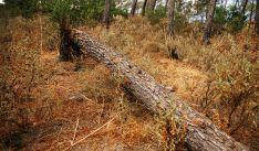 Un pino caído en un bosque.