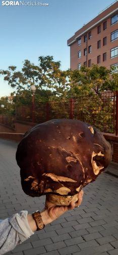 Una imagen del espectacular hongo. /SN