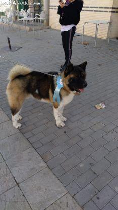 Foto 2 - Galería de imágenes: los perros Thay, Owen y Toby son los más guapos de Soria