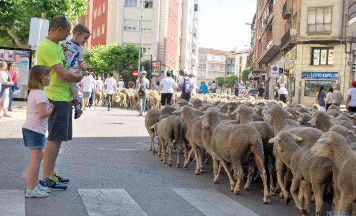 Merinas atravesando el centro de Soria, en un tramo que sigue siendo Cañada Real. /SN