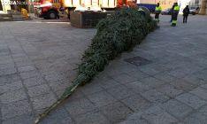 Una imagen del árbol recién llegado a la plaza Mayor. /SN