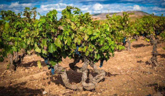 Un viñedo de la DO Ribera del Duero.