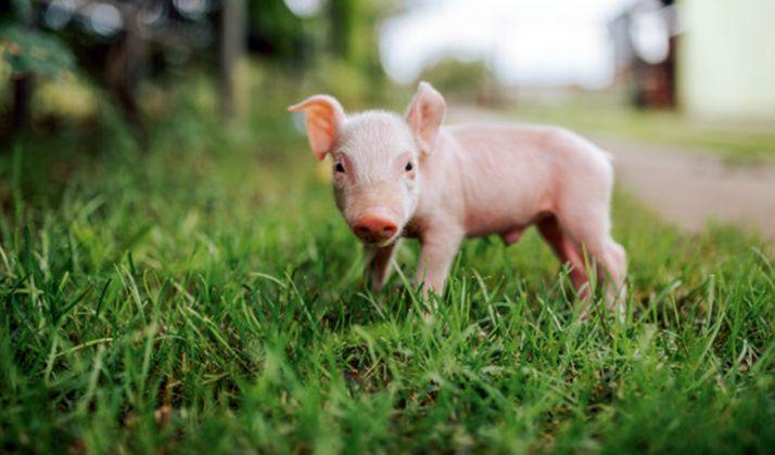 Foto 1 - El proyecto LIFE Smart Fertirrigation hace más sostenible la producción de porcino con la reutilización de purines