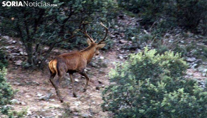 Un ejemplar de ciervo en una imagen de archivo. /SN