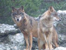 Lobos ibéricos. /Javier Talegón