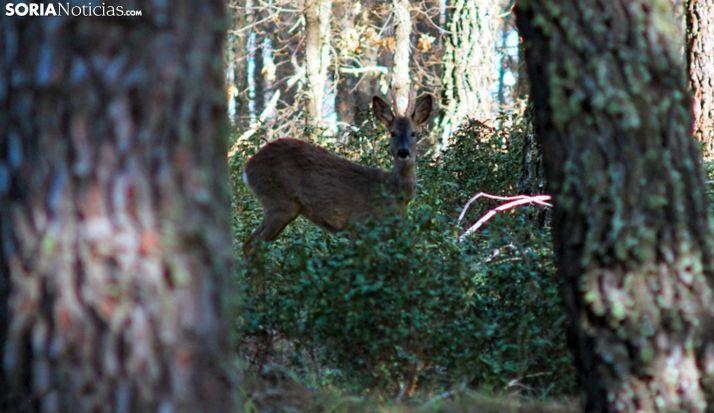 Un ejemplar de corzo en un bosque cercano a Lubia. /SN