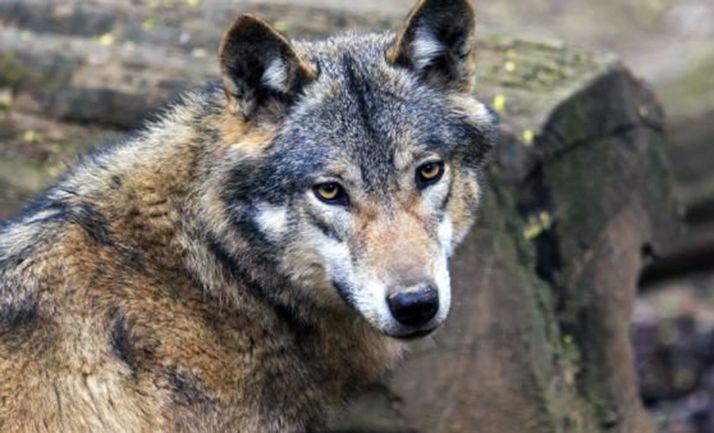 Foto 1 - El TSJCyL rechaza aumentar la condena a la Junta por los lobos abatidos al amparo del plan de caza anulado