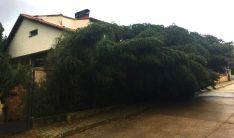 Una imagen del árbol tras ser derribado.