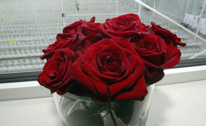 Rosas rojas producidas en Garray.
