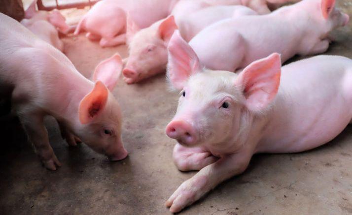 Imagen de una explotación porcina.