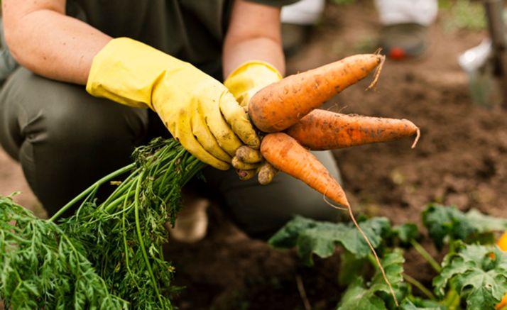Una mujer recolecta zanahorias de su huerto.