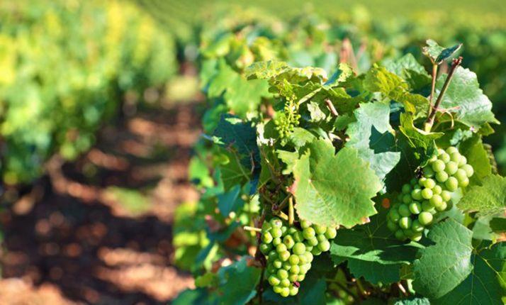 Foto 1 - La plantación de viñedo prevista para 2020 puede realizarse el año que viene