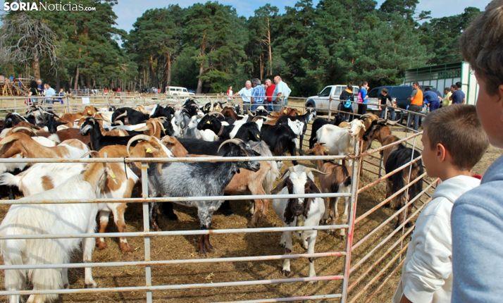Cabezas de caprino en una feria ganadera de Vinuesa. /SN