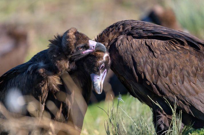 El buitre negro vuelve a criar en el Sistema Ibérico tras más de medio siglo extinguido