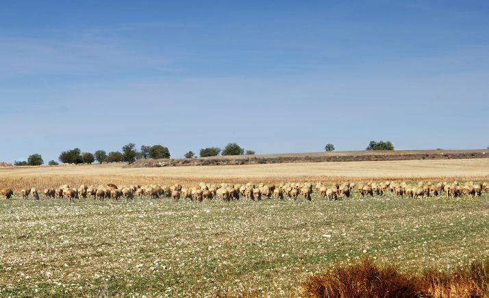 Un ganado de ovino pastando en un campo de la provincia.