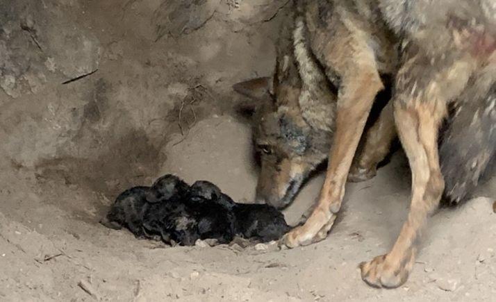 Jara, tras alumbrar a sus tres cachorros. /Patrimonio Natural