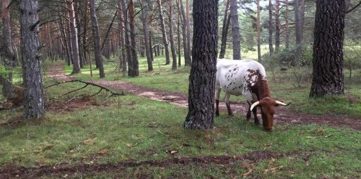 Vacas en el Pinarcillo.