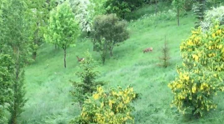 Foto 1 - VIDEO: Dos corzos visitan la ladera del Castillo