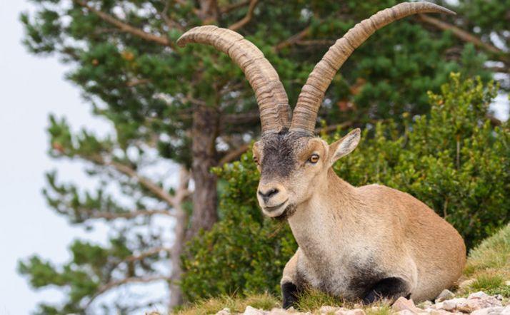 Foto 1 - Absueltos tras ser acusados de abatir cabras hispánicas en la reserva de la Sierra de Gredos