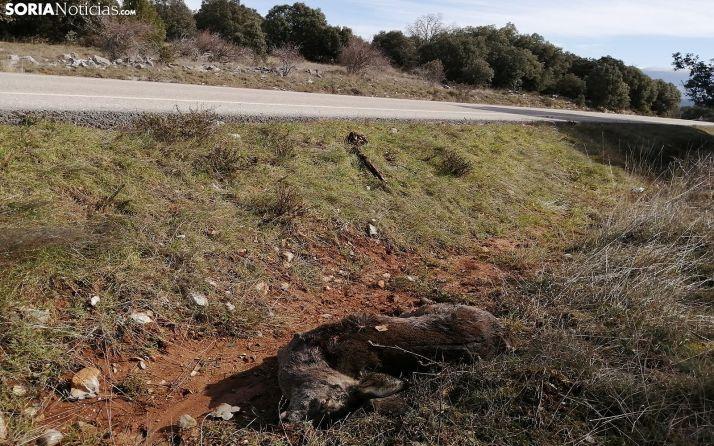 El cuerpo de una corza tras ser atropellada en la carretera que lleva de Ólvega al puerto del Madero. /SN