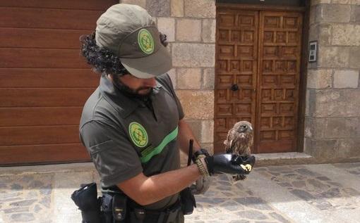 Un Agente Medioambiental junto a la cría de cernícalo en Ágreda.