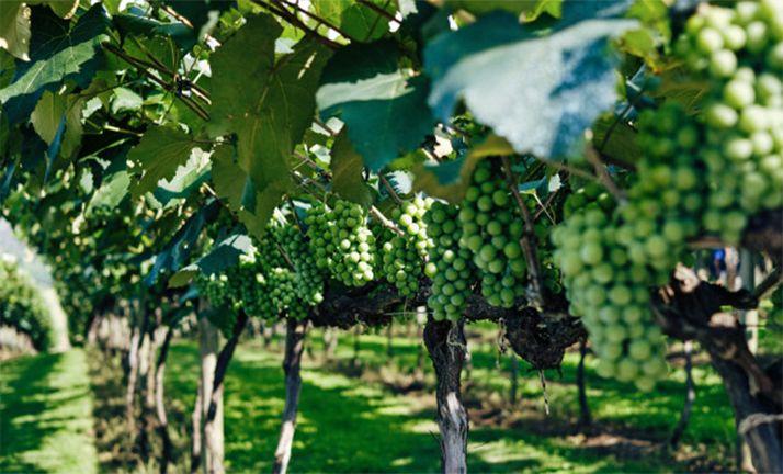 Foto 1 - La Consejería de Agricultura recibe 8 solicitudes de viticultores sorianos para las ayudas en la cosecha en verde