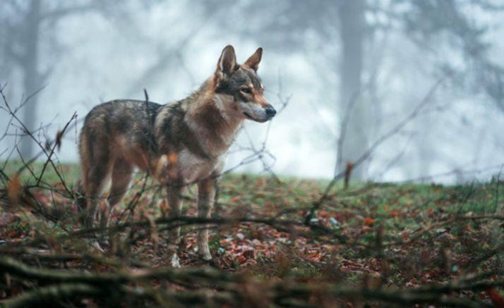 Foto 1 - El Juzgado da la razón a la Junta por el caso del lobo abatido en una montería en Ávila