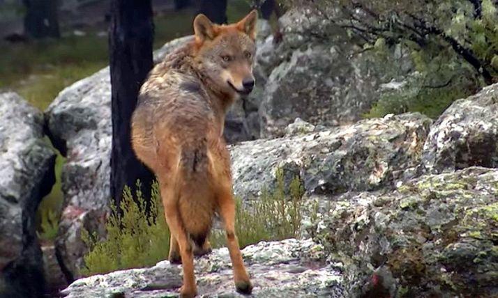 Foto 1 - El plan de la Junta de aprovechamientos comarcales del lobo, en plena vigencia
