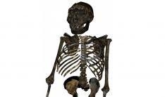 Reconstrucción del esqueleto del 'Niño de Turkana'. /CENIEH
