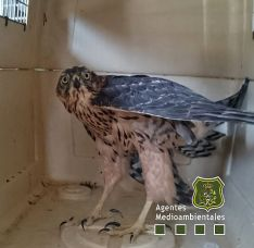 El ave, dispuesta ya para su viaje a Burgos. /Apamcyl