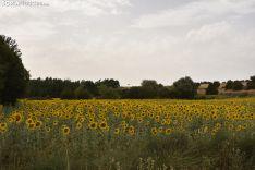 Campos de girasoles de la comarca de El Burgo.