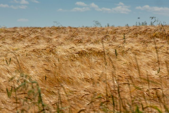 Campos de cereales. María Ferrer.