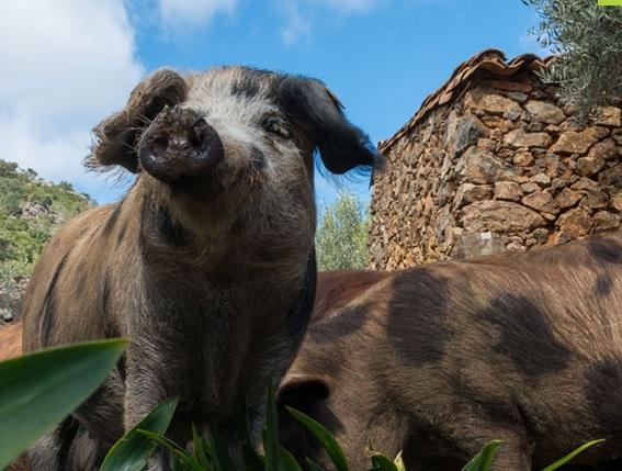 Un pueblo de Soria degusta este sábado el jamón Récord Guinness más Valioso del mundo: más de 4.000 euros
