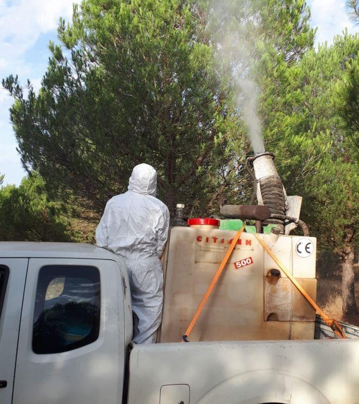 Foto 1 - Continúan los trabajos en CYL para luchar contra la chinche de las piñas