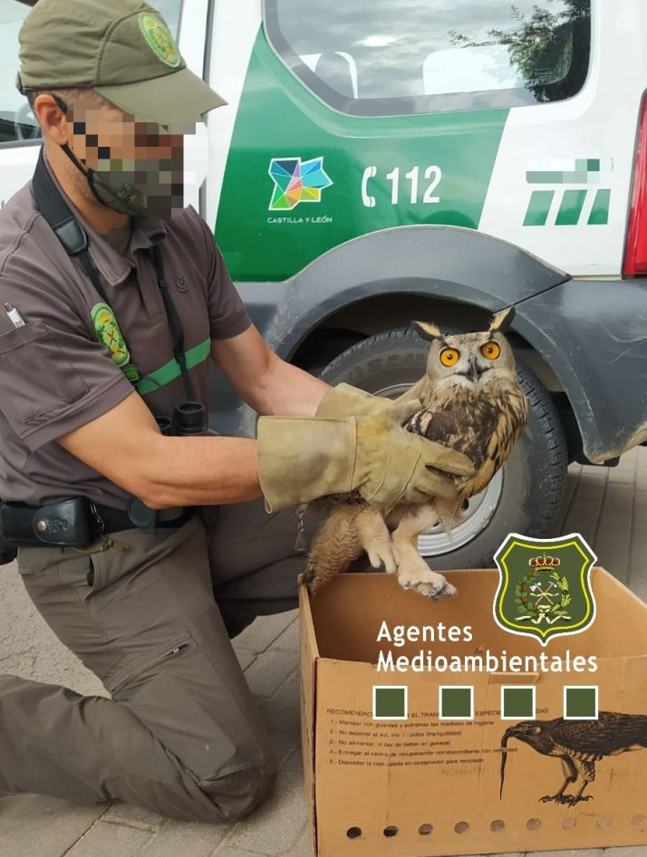 Foto 2 - Rescatado un búho real en Soria