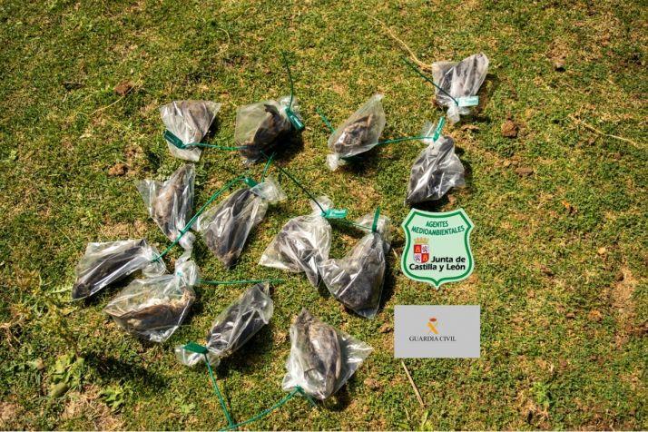 Foto 1 - Retiran aves muertas en un huerto de Golmayo, utilizadas para ahuyentar a otros pájaros